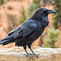 Raven Of The Canyon by Denise Bush