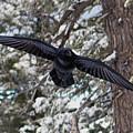 Raven Over Bryce Canyon by Toula Mavridou-Messer