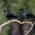 Raven Raven by Torbjorn Swenelius