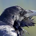 A Raven - Windblown by Jestephotography Ltd