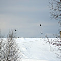 Ravens On The Prowl by William Tasker