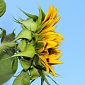 Reaching Sunflower by Brian Eberly