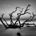 Reaching Too Driftwood Beach Sunrise Jekyll Island Georgia Art by Reid Callaway