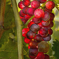 Ready For Harvest by Sharon Foster