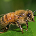 Ready For Take-off, Apis Mellifera by Christy Cox