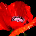 Red Poppy Photograph by Kimberly Walker