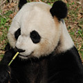 Really Cute Giant Panda Bear With Bamboo by DejaVu Designs
