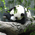 Really Cute Panda Bear Sleeping On A Log by DejaVu Designs