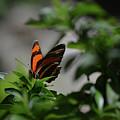 Really Elegant Oak Tiger Butterfly In Nature by DejaVu Designs