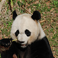 Really Great Panda Bear Chomping On A Fistful Of Bamboo by DejaVu Designs