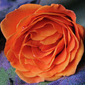 Really Orange Rose by Ann Horn