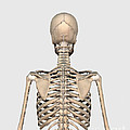 Rear View Of Human Skeletal System by Stocktrek Images