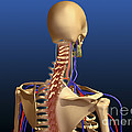 Rear View Of Human Spine And Scapula by Stocktrek Images