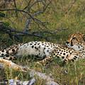 Reclining Cheetah 2 by Karen Zuk Rosenblatt