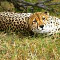 Reclining Cheetah by Karen Zuk Rosenblatt
