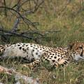 Reclining Cheetah Watching by Karen Zuk Rosenblatt