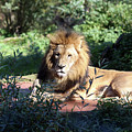 Reclining King by Christiane Schulze Art And Photography