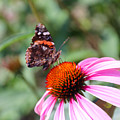 Red Admiral 1543 by Carolyn Stagger Cokley