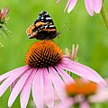 Red Admiral And Cone Flowers by Larry Ricker
