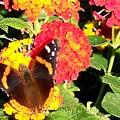 Red Admiral Butterfly by Adrienne Wilson