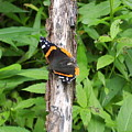 Red Admiral Butterfly by Joshua Bales