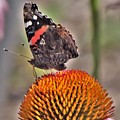 Red Admiral Butterfly On Coneflower              July              Indiana by Rory Cubel