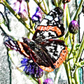 Red Admiral Butterfly Sketch by Nigel Dudson