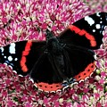 Red Admiral Butterfly Vanesa Atalanta by Martyn Arnold