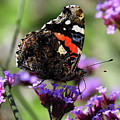 Red Admiral Butterfly Vanessa Atalanta by Paul Cowan