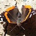 Red Admiral Close by Nicholas Miller