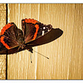 Red Admiral by Marshall Barth