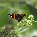 Red Admiral by Nadia Asfar