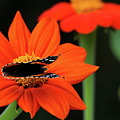 Red Admiral Nectaring On Tithonia by Debbie Oppermann