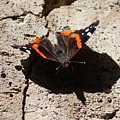 Red Admiral by Nicholas Miller