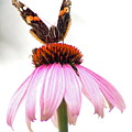 Red Admiral On Echinacea by Kitrina Arbuckle