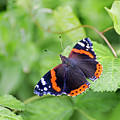Red Admiral by Sebastien Coell