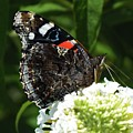 Red Admiral - Underside by Cindy Treger