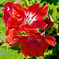 Red Amaryllis At Pilgrim Place In Claremont-california by Ruth Hager