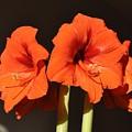 Red Amaryllis by Georgeta  Blanaru