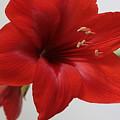 Red Amaryllis by Robin Maria Pedrero