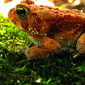 Red American Toad by Joshua Bales