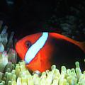 Red And Black Anemonefish, Great Barrier Reef by Pauline Walsh Jacobson