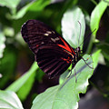Red And Black Butterfly In The Garden by Oana Unciuleanu