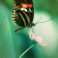 Red And Black Butterfly On White Flower by Jaroslaw Blaminsky