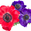 Red And Blue Anemone Flowers  by Anastasy Yarmolovich