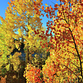 Red And Golden Aspens In Dillon Co by Ray Mathis