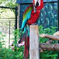 Red  And  Green Macaw         Zoo      Indiana by Rory Cubel