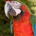 Red-and-green Macaw by Svetlana Ledneva-Schukina