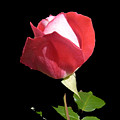 Red And Pink Rosebud by Shirley anne Dunne