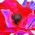 Red and Purple Poppy